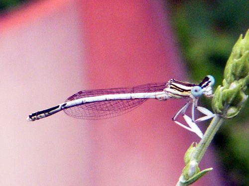 07.06-Platycnemis-pennipes
