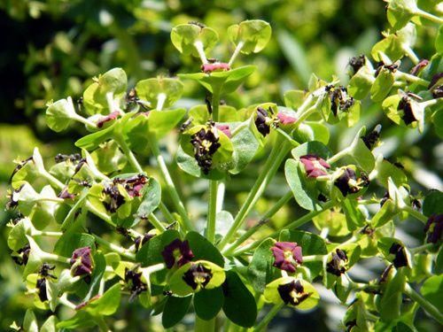 fleurs-euphorbe-characias-2.jpg