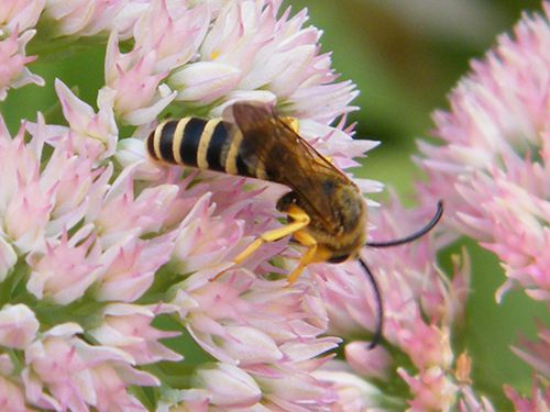 halictus-scabiosae-sur-centranthe-rouge---male---juillet--.JPG