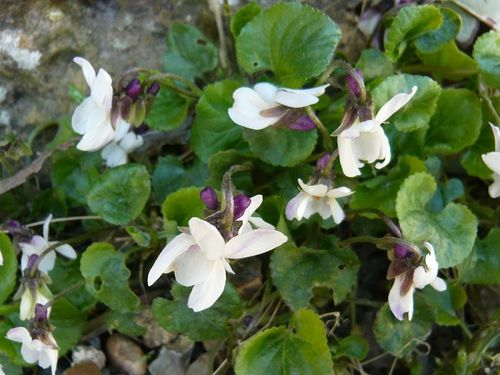violettes blanches - reduc1