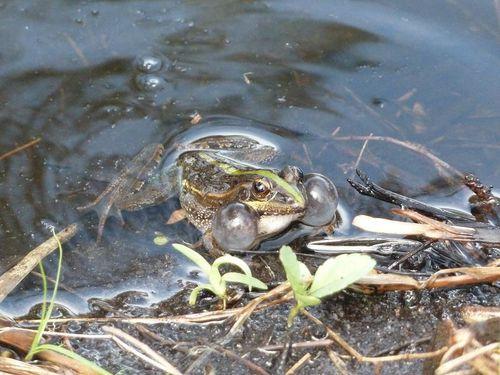Lokaro grenouille bulles