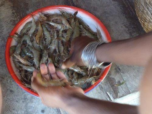 pêche crevettes