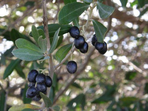 med-olives-sauvages-visoflora-7105.jpg