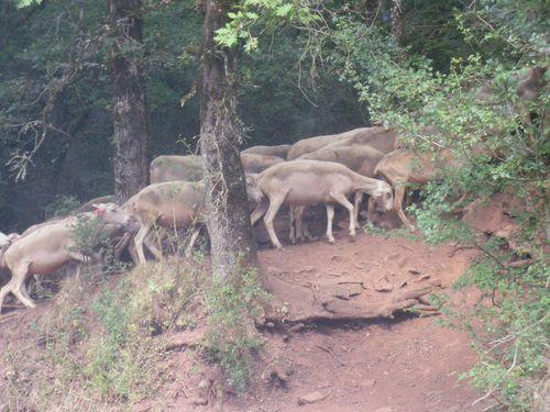 Un troupeau sur ocre rouge