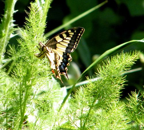 papilio machaon en train de pondre sur aneth 07.05