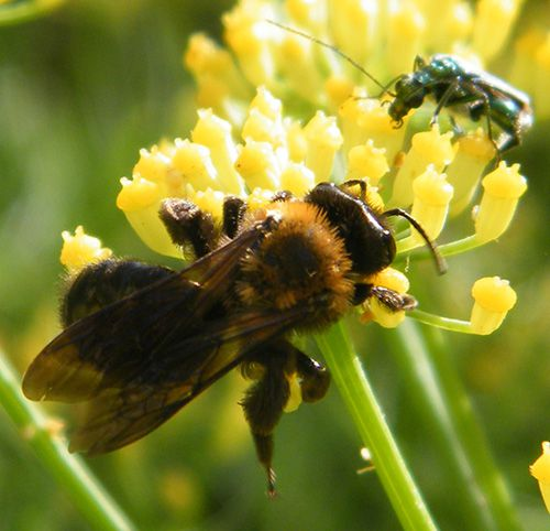 A -andrena thoracica femelle 13.06 sur aneth