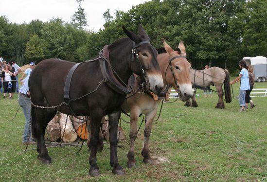 mules-poitevines-Photo Daniel WANTZ (3)