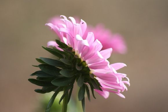 Fleur-de-septembre-2.jpg
