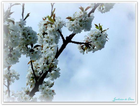poirier-en-fleurs.JPG