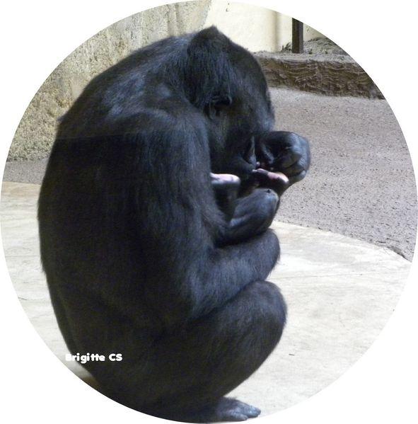 gorille12