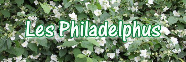 d2. Les philadelphus (seringat)