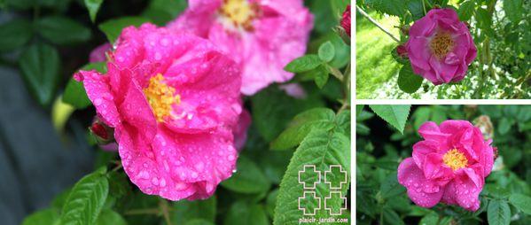 Rosa-gallica-officinalis-pj.jpg