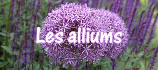 c2. Les alliums (ails d'ornement)