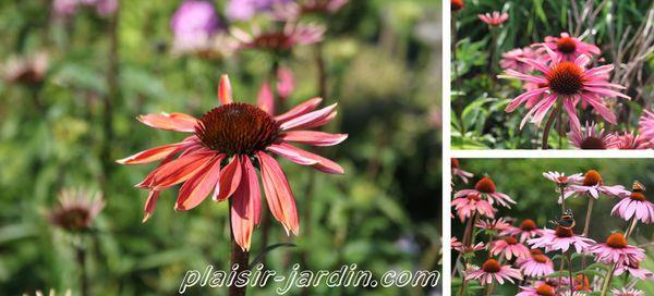 Echinaea-purpurea-summer-sky.jpg