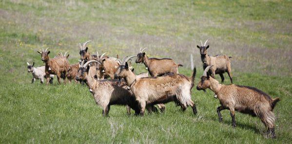 Chèvres bottées- Prospecierara