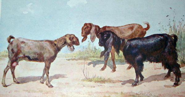 chèvres Syriennes dessin Barillot 1900