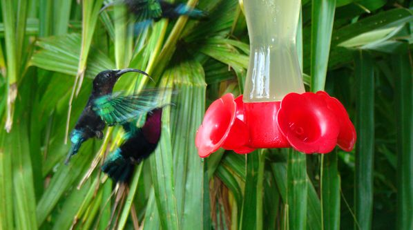 photo colibri jardin balata martinique.jpg