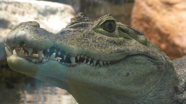 crocodilel.jpg
