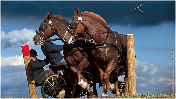 cheval-cob photo PhilippeDESCHAMP