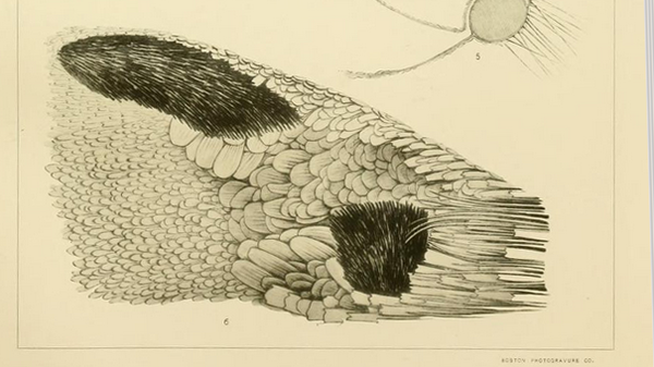 Androconia--Scudder-Thymelicus-aetna-pl.45-fig.6-Butt.easte.png