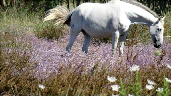 cheval-blanc-camargue.jpg