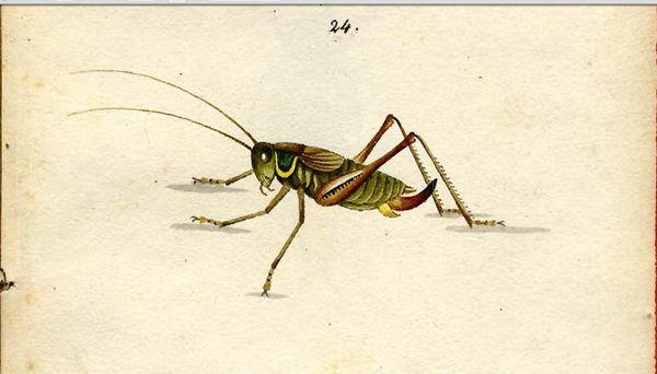 metrioptera-roeselii.jpg
