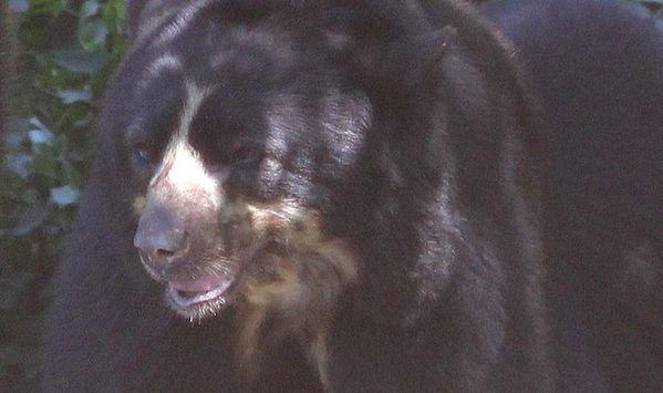 ours à lunettes 2 (4)