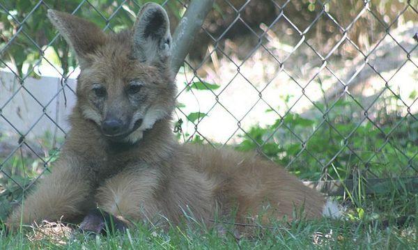 loup à crinière (4)