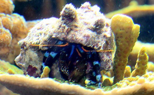 bernard l'hermitte à pattes bleues calcinus elegans (6)