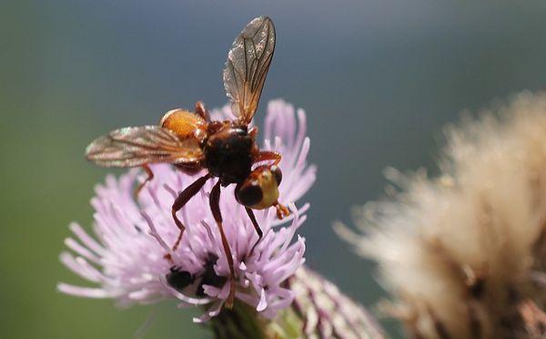 conopidae Sicus ferrugineux, Sicus ferrugineus 7