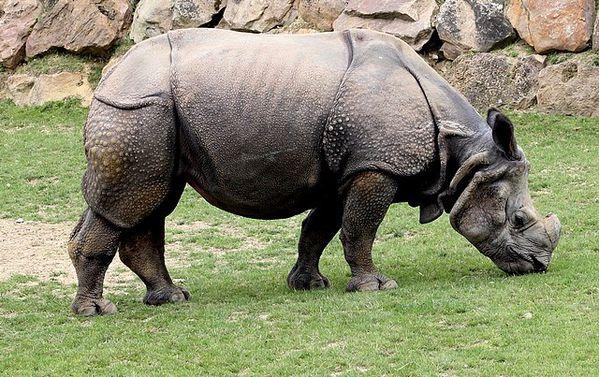 rhinoceros indien (3)