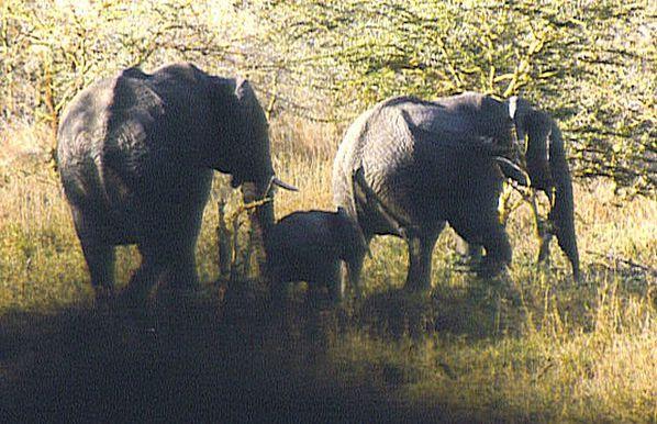 eléphant d'afrique tanzanie