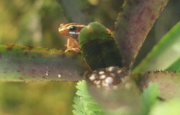 Epipedobates-tricolor--4-.jpg