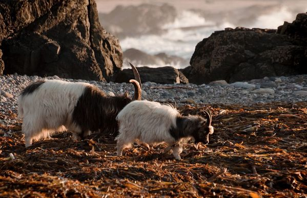 wild goats photo weetoon66