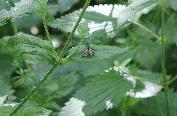 panorpe-femelle--3-.jpg