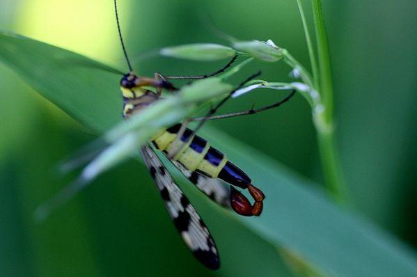 panorpe mâle
