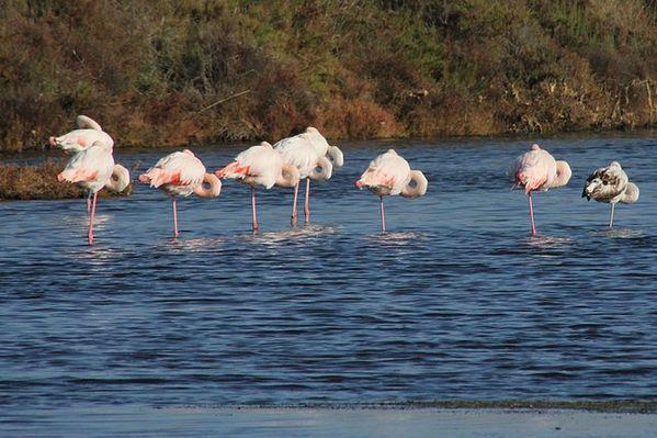 oiseaux-palmipèdes 5336