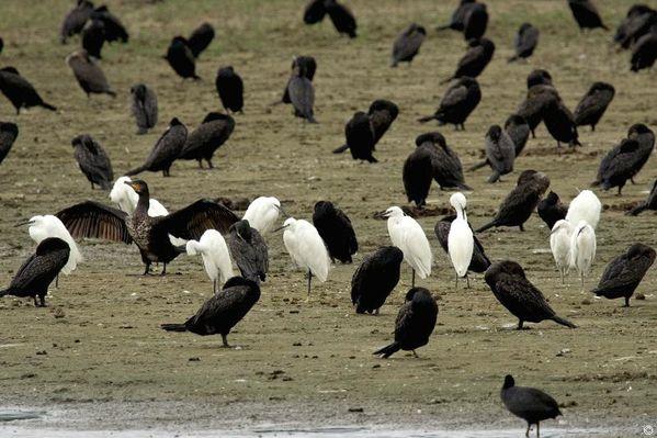 aigrettes garzettes et grands cormorans