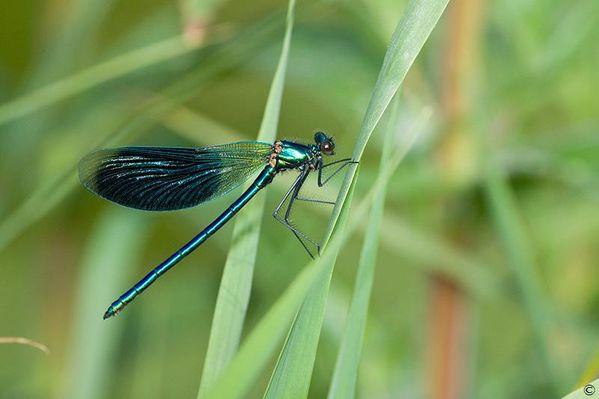 Caloptéryx2