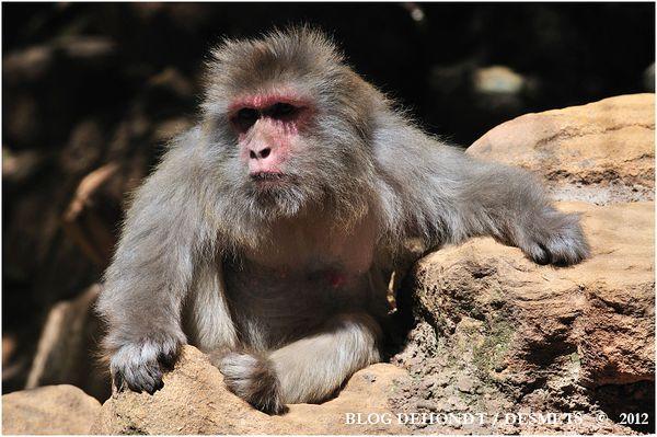 macaque rhesus-border