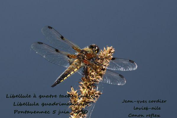 libellule-quatre-tache 0263