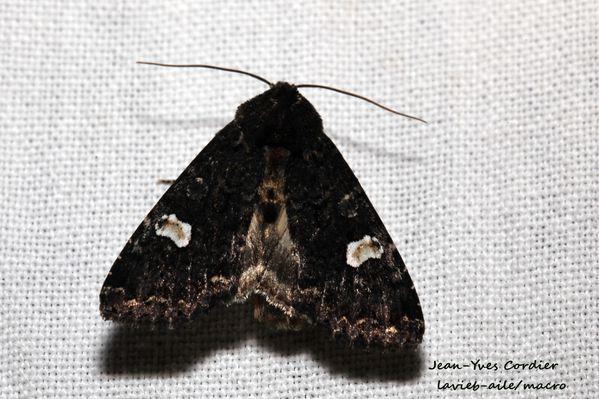 melanchra-persicaria 6585cc