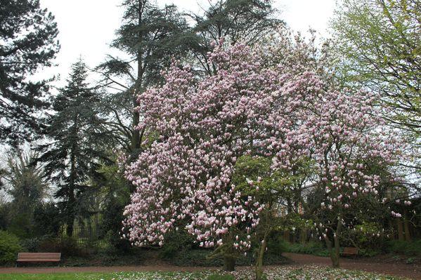 Quelques magnolias