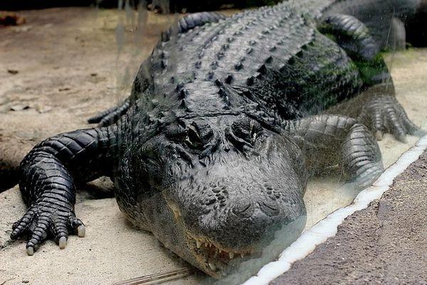Alligator du Mississipi (3)