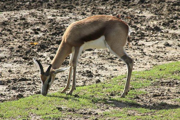 springbock (3)