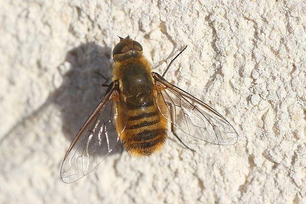 bombyliidae Villa hottentotta (7)