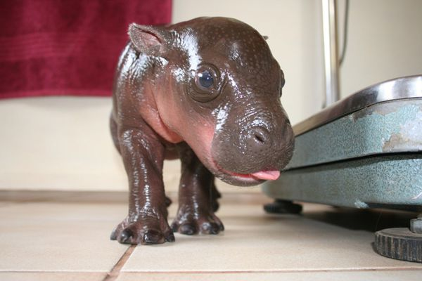 1hippos-theyre-real-2.jpeg