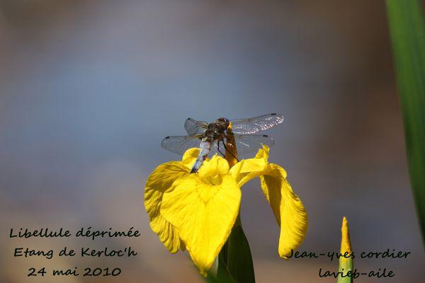libellule-deprime 6659
