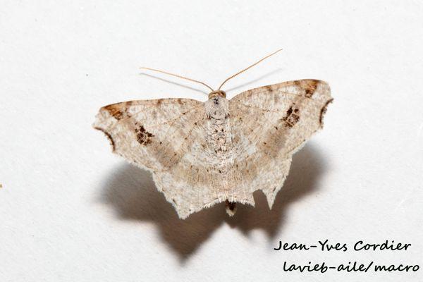 macaria-alternata 7118cc