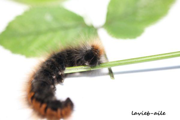 macrothylacia-rubi-bombyx-ronce 1225cc